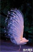 白孔雀开屏是幸运的象征?白孔雀实系印度蓝孔雀的变异品种